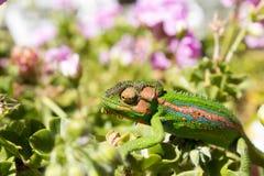 走横跨叶子和瓣的变色蜥蜴 免版税库存照片