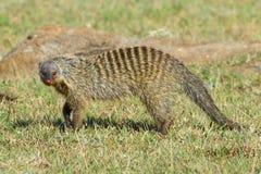 走横跨大草原的被结合的猫鼬 库存图片