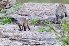 走横跨岩石的被结合的猫鼬 免版税库存图片