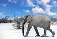走横跨有明亮的蓝天的Etosha平底锅的大大象 免版税库存图片