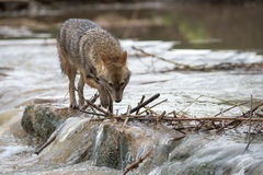 走横跨河的狐狼 免版税图库摄影