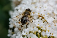 走横跨白花的蜂 免版税库存照片