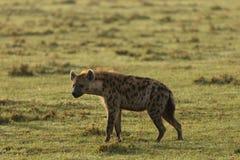 走横跨草原的鬣狗 库存照片