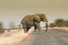 走横跨路的男性大象 免版税库存图片