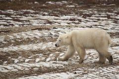 走横跨雪装满的轮胎轨道的湿,泥泞的北极熊 免版税库存图片