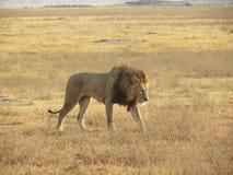 走横跨非洲平原的公狮子 免版税库存图片