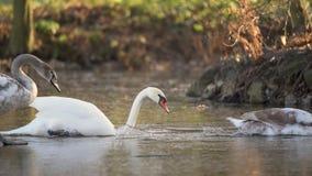 走池塘的冻结的表面和最后跃迁上的天鹅到水 股票录像