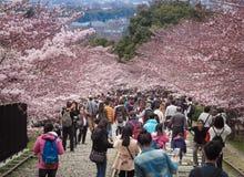 走沿一条废弃的铁路的轨道的人们在美丽的樱花树下 免版税库存图片