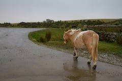 走沿一条湿路的Dartmoor小马 免版税库存图片