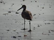 走沿在海滩的湿沙子的水鸟 免版税库存照片