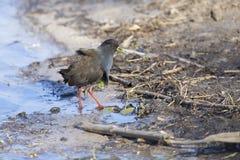 走沿搜寻昆虫的池塘的边缘的黑crake 免版税库存照片