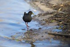 走沿搜寻昆虫的池塘的边缘的黑crake 免版税库存图片