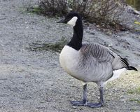 走沿池塘的边的一只幼小加拿大鹅 库存图片