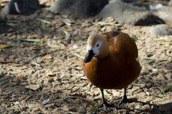 走沿池塘的边缘的面无血色的吹哨的鸭子 免版税库存图片