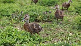 走沿河岸的小棕色鸭子 免版税库存照片