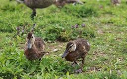 走沿河岸的小棕色鸭子 库存照片