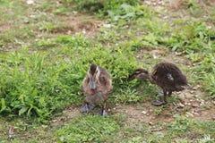 走沿河岸的小棕色鸭子 免版税图库摄影