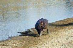 走沿河岸,肯尼亚的河马 库存图片