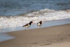 走沿海洋的美国蛎鹬在一个晴朗的早晨 免版税图库摄影