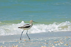 在赤足海滩的长嘴上弯的长脚鸟 免版税图库摄影