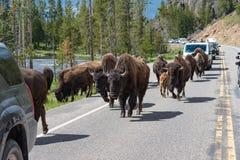 走沿高速公路的北美野牛牧群在黄石 库存照片