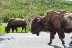 走沿高速公路的北美野牛牧群在黄石 免版税库存图片