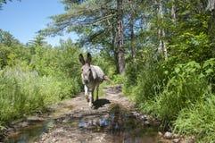 走泥泞的路的驴 图库摄影