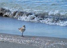 走海滩在墨西哥湾的日出期间的矶鹞 免版税库存图片