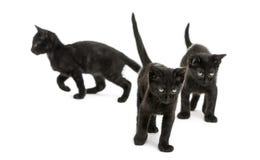 走用不同的方向的三只黑小猫 库存图片