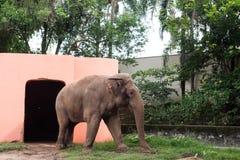 走由房子和树的大象 免版税库存照片