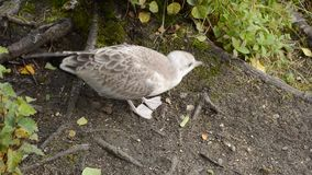 走由池塘岸的海鸥寻找食物和拾起昆虫 股票视频
