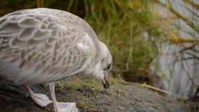 走由池塘岸的海鸥寻找食物和拾起昆虫 影视素材