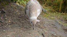 走由池塘岸的海鸥寻找食物 股票视频