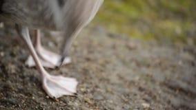 走由池塘岸的海鸥寻找食物 影视素材