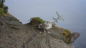 走由池塘岸的海鸥寻找食物 股票录像