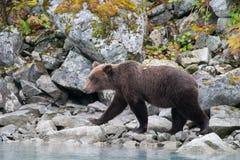 走的北美灰熊 库存图片