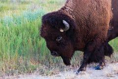 走的北美野牛紧密  库存照片