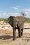 走的大象 免版税库存照片