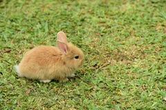 走的小的兔子在草坪 库存图片