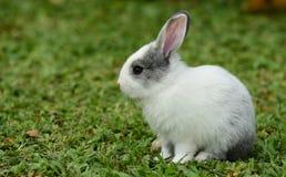 走的小的兔子在草坪 免版税库存照片