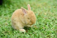 走的小的兔子在草坪 免版税库存图片