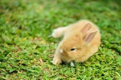 走的小的兔子在草坪 免版税图库摄影