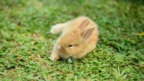 走的小的兔子在草坪 图库摄影