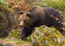 走的棕熊 库存图片