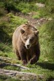 走的棕熊 免版税库存照片