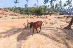 走的母牛、印度、果阿、棕榈树和高地 库存图片