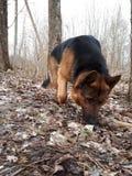 走的狗在森林里 免版税库存照片