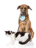走的狗在皮带的一只猫 背景查出的白色 免版税图库摄影