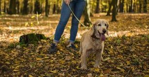 走的狗在秋天公园 免版税库存照片