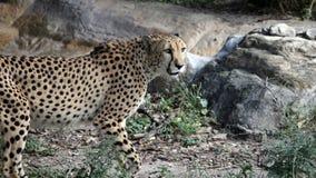 走的猎豹在阳光下 库存照片